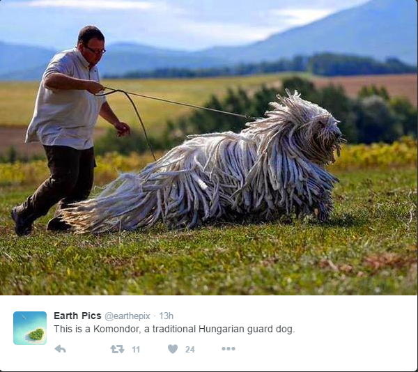 Huge Hungarian Guard Dog